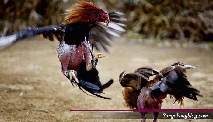 Pukulan Ayam Blorok Madu