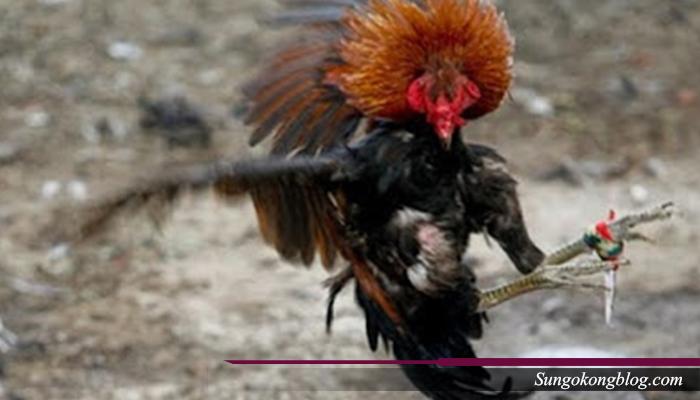 Racikan Obat Ayam Petarung
