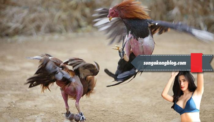Melatih Nafas Ayam Petarung