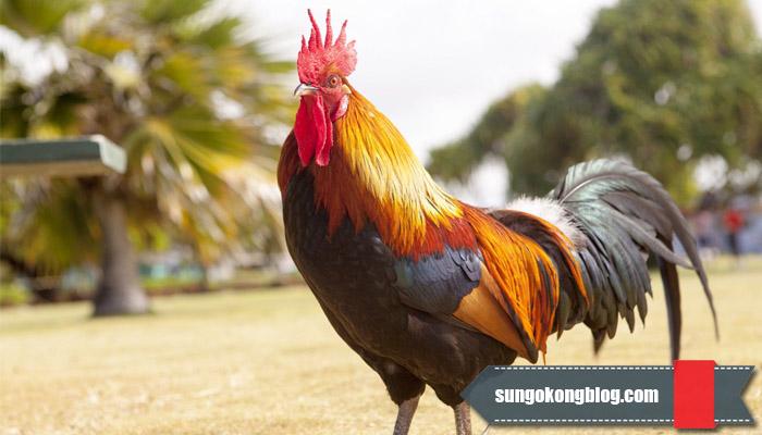 Trik Curang Taruhan Sabung Ayam Online