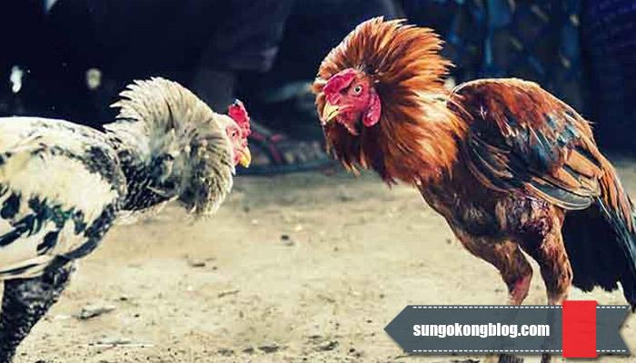 Untung Besar, Taruhan Judi Sabung Ayam Online