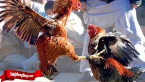 Bongkar Teknik Mematikan Dari Ayam Bangkok