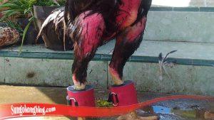 Bagaimana Cara Besarkan Otot Kaki Ayam SV388