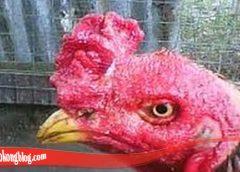 Bagaimana Cara Sembuhkan Mata Ayam S128