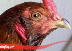 Penjelasan Lengkap Tentang Ayam Bangkok S128
