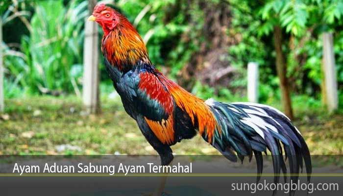 Ayam Aduan Sabung Ayam Termahal
