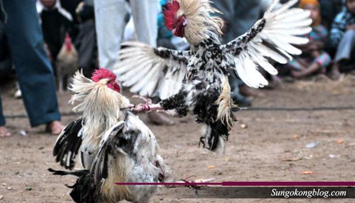 Meruncingkan Paruh Ayam Petarung