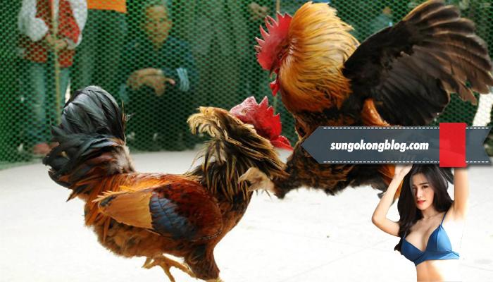 Penilaian Kemampuan Tarung Ayam Bangkok