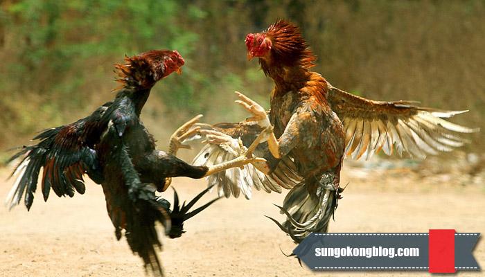 Keseruan Taruhan Sabung Ayam Uang Asli