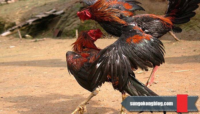 Melatih Ayam Aduan Agar Kuat