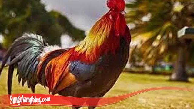 Bagaimana Cara Tumbuhkan Bulu Ayam Bangkok SV388